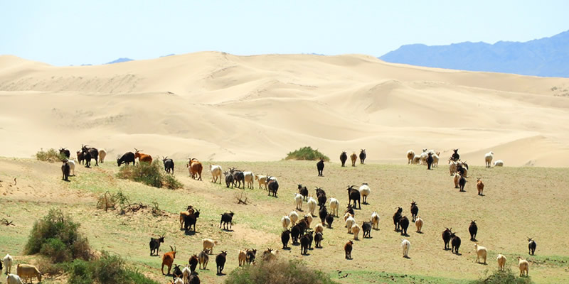 Livestock grazing causes desertification