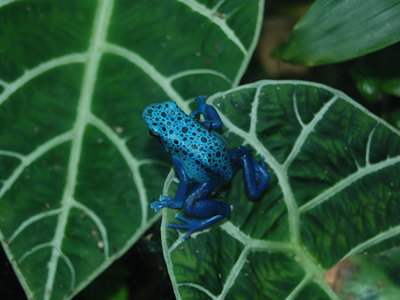 Blue poison dart frog - one of the many inhabitants of the rainforest