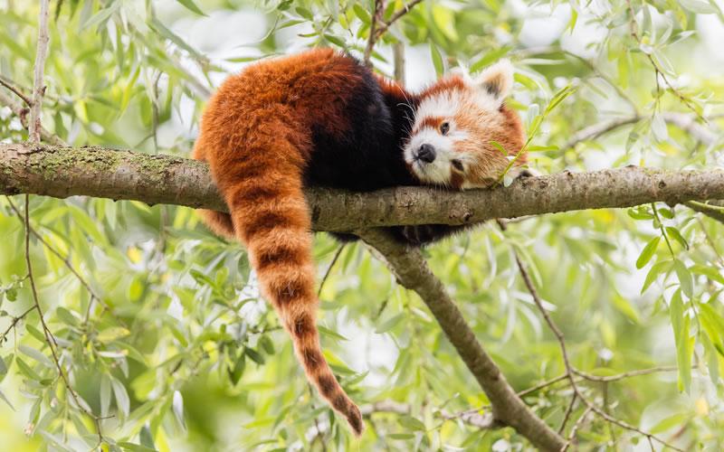 endangered red panda