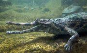 the gharial
