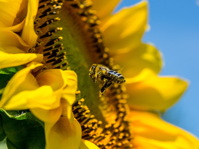 A honeybee pollinates sunflower.