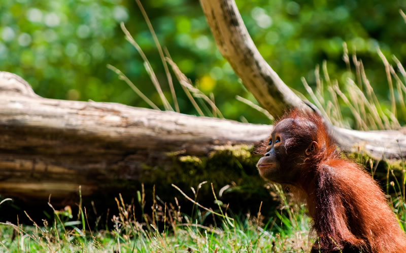 deforestation a real threat for orangutans