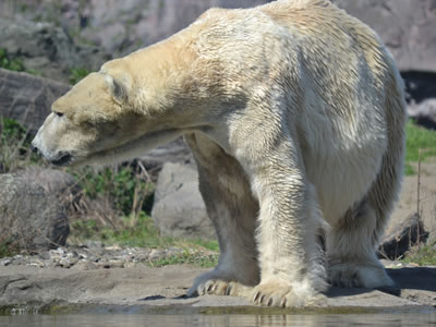 Melting sea ice shrinks polar bears' habitat.