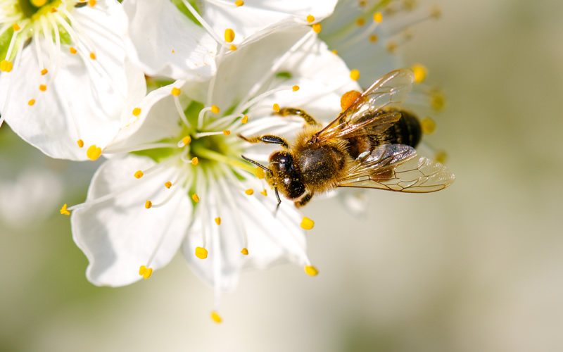 Why are honeybees disappearing
