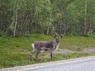 Deer crossing the road.