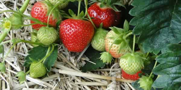 Strawberries on straw mulch