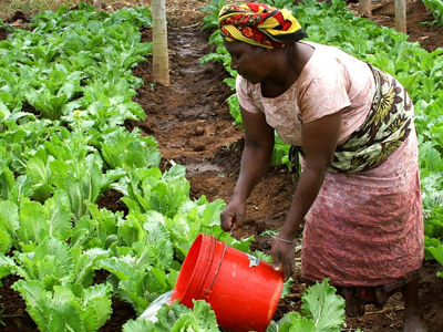 Woman is watering her crops in Africa.