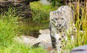 Endangered snow leopard