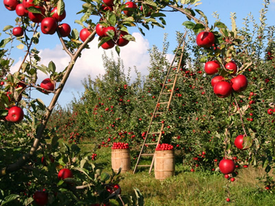 Orchard with apple trees