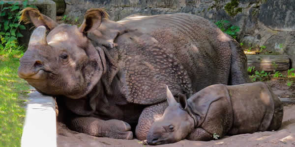 Critically-endangered Javan rhino