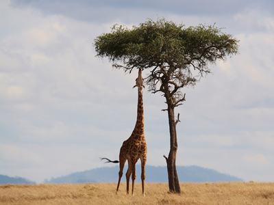 A giraffe reaching for leaves
