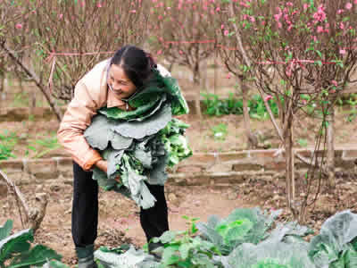 Organic farmer harvesting pesticide free produce.