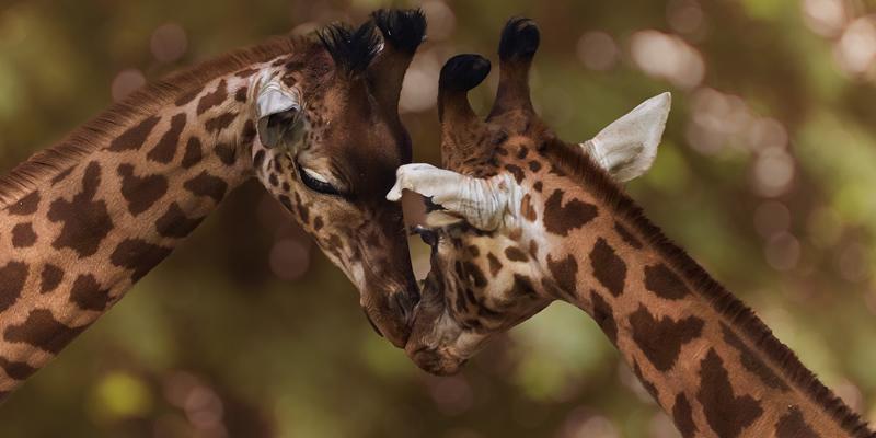 Giraffes endangered