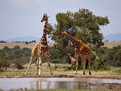 Giraffes in their natural environment