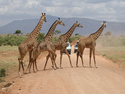 Giraffes crossing a road