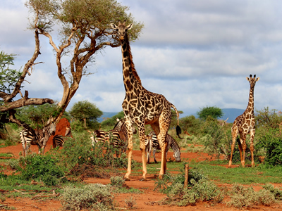 Giraffes on the watch for danger