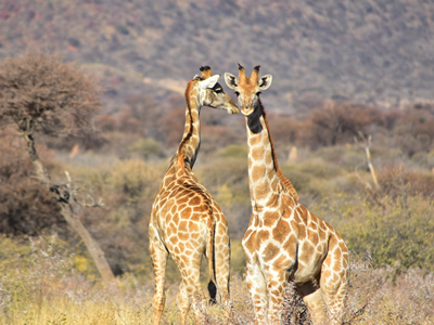 Giraffe couple sharing some affection