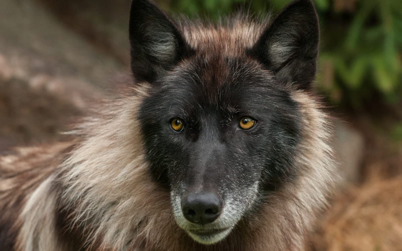 Alexander Archipelago Wolf on the Edge of Extinction