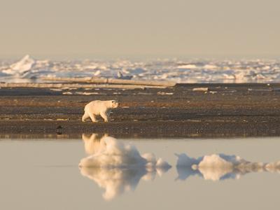 Melting sea ice shrinks suitable polar bear habitat.