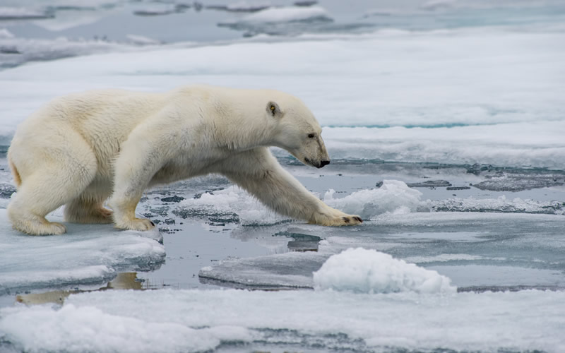 How Are Polar Bears Affected by Global Warming