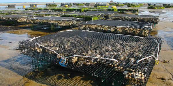 Oyster aquaculture farm