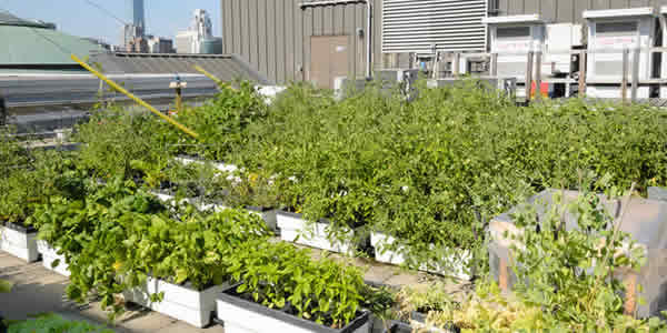 Rooftop vegetable farm