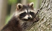 Species Lost to Deforestation- pygmy raccoon