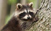 Species Lost to Deforestation- pygmy raccoon