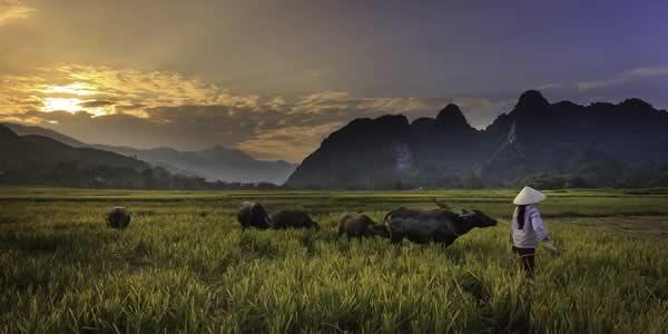 Buffalo herd and small farmer