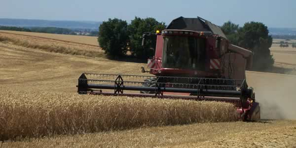 Combain harvesting wheat monoculture