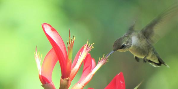 Hummingbird pollinating a flower