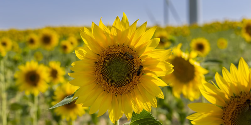 Honeybee pollinating sunflower field