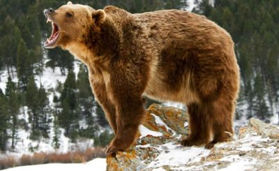 Grizzly - a keystone species