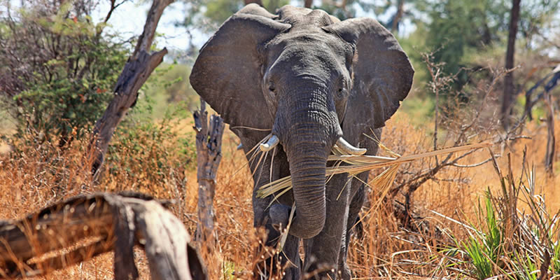 The role of elephants in maintaining a healthy ecosystem
