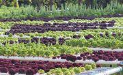 How Soilless Agriculture Differs from Soil-based Agriculture