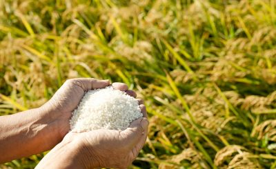 sustainable methods to grow rice