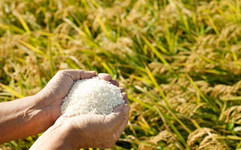 sustainable methods to grow rice