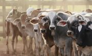 Advantages and disadvantages of intensive livestock farming