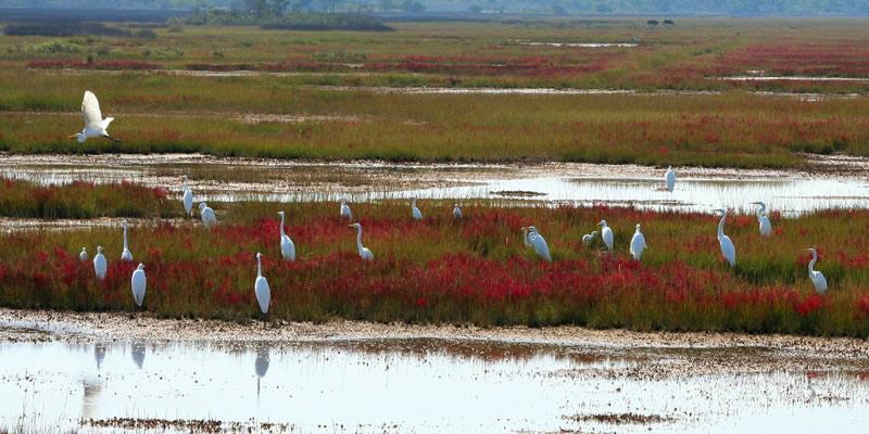 wetland-herons