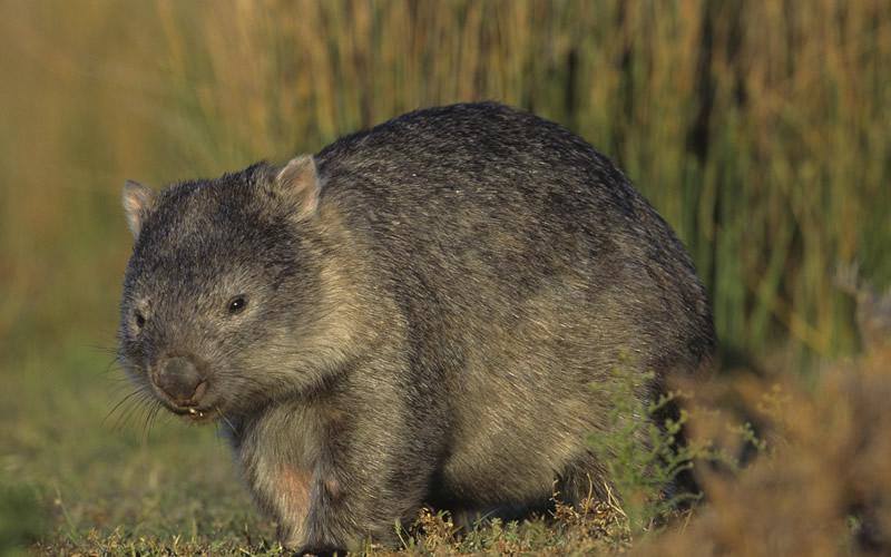 Rare species of Tasmania