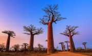 critically endangered species of trees in the world