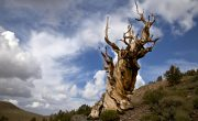 oldest trees on Earth