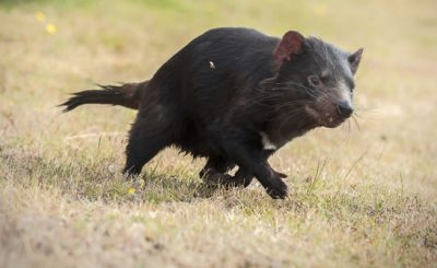 Why are tasmanian devils endangered