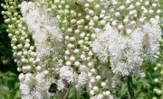 Endangered plants with medicinal properties-Black Cohosh