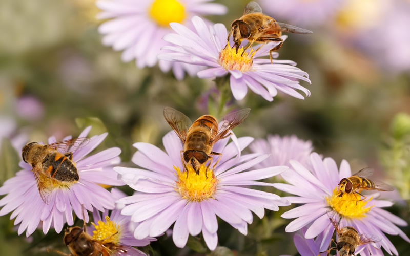 Is GMO agriculture killing bees