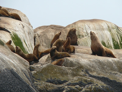 A group of Steller Sea Lions in Alaska