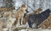 Why are wolves good for the ecosystem