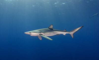 How does shark finning affect the ecosystem