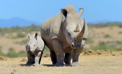 Why are rhinos endangered