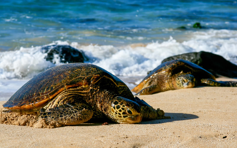 Why are sea turtles important to the ecosystem